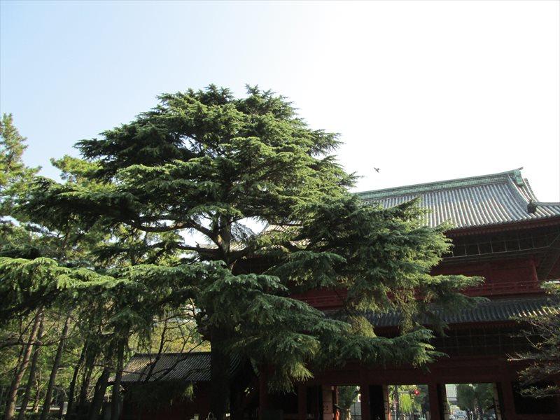 グラント松(ヒマラヤ杉)